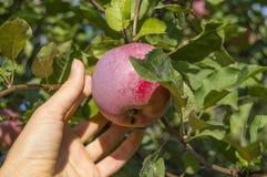 Val av det saftiga äpplet på solig dag Arkivbilder