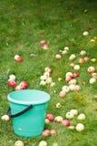 Val av mogna äpplen i hink i fruktfruktträdgård Arkivfoton