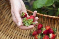 Val av mogna jordgubbar arkivfoto