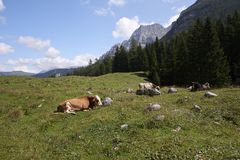 Cows. Val d`Agola Tn, Italy, some cows grazing royalty free stock photo