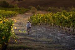 VAL D ` ORCIA, TUSCANY/ITALY 10月08日-葡萄园在Val d ` Orcia 免版税库存图片