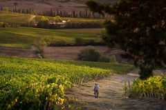 VAL D ` ORCIA, TUSCANY/ITALY 10月08日-葡萄园在Val d ` Orcia 免版税图库摄影