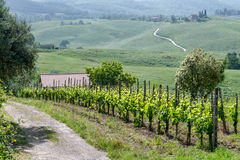 VAL D'ORCIA, TUSCANY/ITALY - MAY 16 : Vineyard in Val d'Orcia Tu Stock Photo