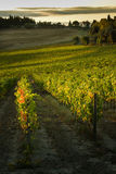 VAL D`ORCIA, TUSCANY/ITALY - Vineyard in Val d`Orcia Stock Photo