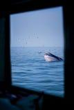 Val för Bryde ` s och fåglarna från fönstret Arkivfoton