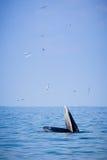Val för Bryde ` s och fåglarna i havet Royaltyfri Bild