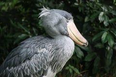 Val-hövdad stork Arkivbild