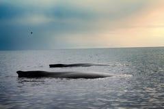 Val i Stilla havet Arkivfoto