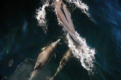 Val och delfin som håller ögonen på i patagonia, Argentina arkivfoto