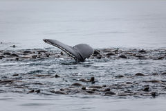 Val- och sjölejonmatning Royaltyfri Fotografi