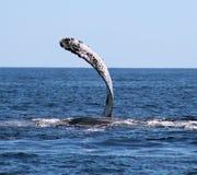 Val på Los Cabos Mexico den utmärkta sikten av familjen av val på Stilla havet Royaltyfri Bild