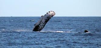 Val på Los Cabos Mexico den utmärkta sikten av familjen av val på Stilla havet Arkivfoton