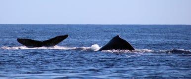 Val på Los Cabos Mexico den utmärkta sikten av familjen av val på Stilla havet Arkivbilder