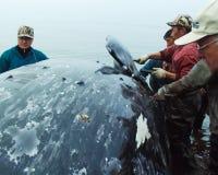 Val som fångas av Chukchi som klipper valkadavret royaltyfri bild