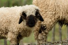 Valais black nose with soft bokeh stock images