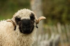 Valais black nose royalty free stock images