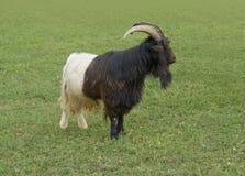 Valais Blackneck goat Royalty Free Stock Image