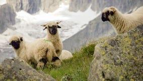 Valais Blacknose får i de schweiziska bergen i Fieschertalen arkivfoto