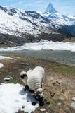 Valais Blacknose får på höglandet i Zermatt, Schweiz med Matterhorn bergsikt i sommar royaltyfri bild