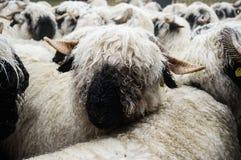 Valais Blacknose fårflock på Zermatt, Schweiz Fotografering för Bildbyråer