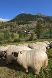 Valais Blacknose sheep Stock Photos