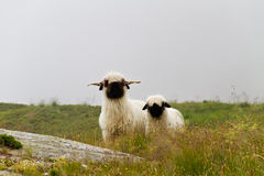 Valais Blacknose sheep. Ewe and lamb, in a misty landscape stock photos