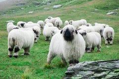 Valais Blacknose Sheep herd at Zermatt, Switzerland. royalty free stock image
