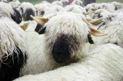 Valais Blacknose Sheep herd at Zermatt, Switzerland. royalty free stock image