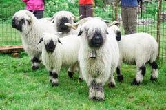 Valais Blacknose Sheep herd at Zermatt, Switzerland royalty free stock images