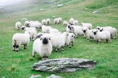 Valais Blacknose Sheep at Zermatt, Switzerland. royalty free stock photo