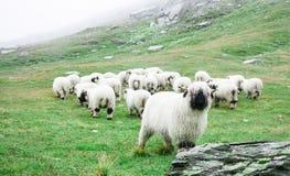 Valais Blacknose Sheep at Zermatt, Switzerland. stock photo