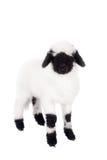 Valais lamb On White. Funny Valais lamb Isolated On White background stock image