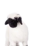 Valais lamb On White. Funny Valais lamb Isolated On White background royalty free stock photo