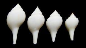Valampuri shank or Great indian chank seashell Stock Photo