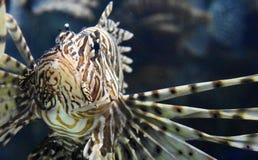 Valanga delle bande su questa della farfalla del merluzzo fine su fotografia stock