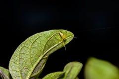 Vald fokus för makrospindel, gul head spindel, spindel på sidor Royaltyfria Bilder