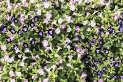 Valda fokusblommor av rosa blommor för buske, royaltyfria bilder