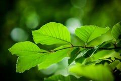 valderejo sylvatica естественного парка fagus alava Стоковое Изображение RF