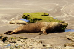 Valdes halvö - Argentina Elefantskyddsremsa Royaltyfria Bilder