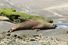 Valdes Peninsula - Argentina. Elephant seal Royalty Free Stock Photos
