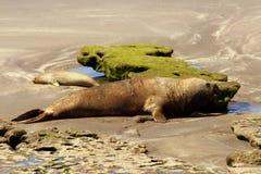Valdes Peninsula - Argentina. Elephant seal Royalty Free Stock Images