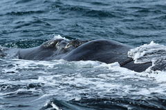 Valdes Peninsula - Argentina. The whale Royalty Free Stock Photography