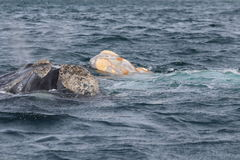 Valdes Peninsula - Argentina. The whales Royalty Free Stock Photography
