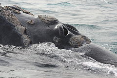 Valdez半岛,鲸鱼观看 免版税库存图片