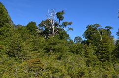 Plants of the Valdivian temperate rainforests in southern Chile Chilean Patagonia. The Valdivian temperate forest is an ecoregion on the west coast of southern Royalty Free Stock Images