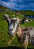 VALDRES, НОРВЕГИЯ - 6-ОЕ ИЮЛЯ 2015: Козы горы стоковые фото