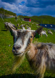 VALDRES, NORWAY - 6 JULY, 2015: Mountain goats Stock Photos
