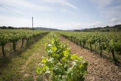 Vale com as plantas da uva para vinhos varietal imagens de stock