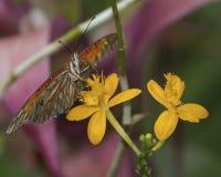 Vale da estrela da orquídea Fotografia de Stock Royalty Free
