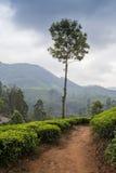 Vale da plantação de chá Fotografia de Stock Royalty Free